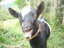 smelly goat